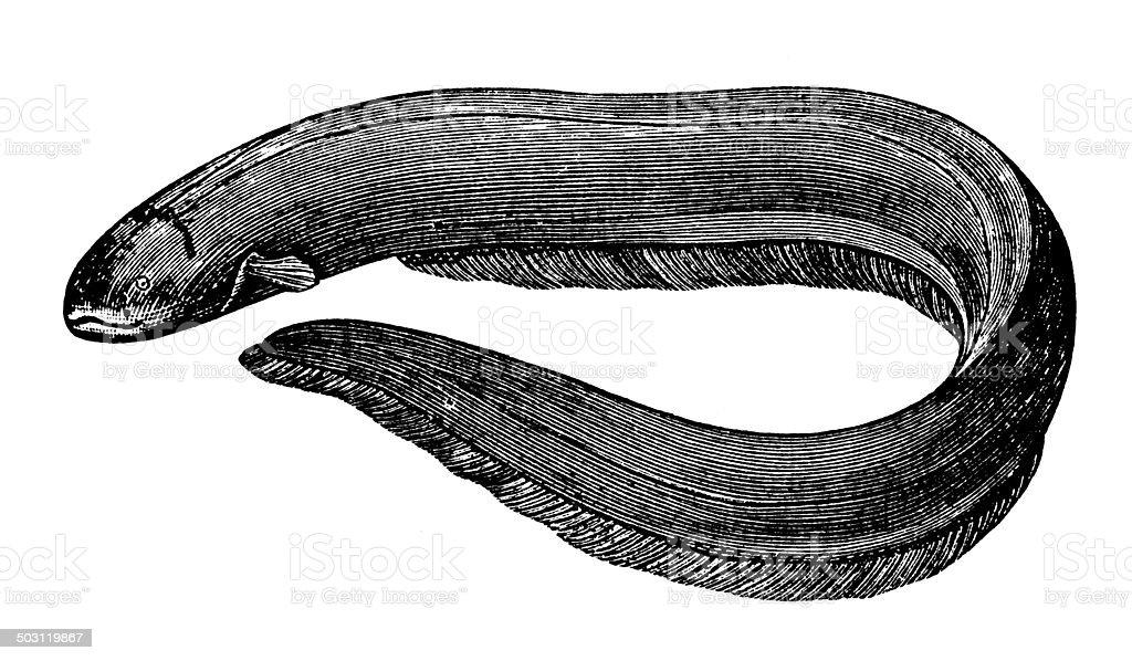 Antique Illustration Of Electric Eel Stock Vector Art ... - photo#17