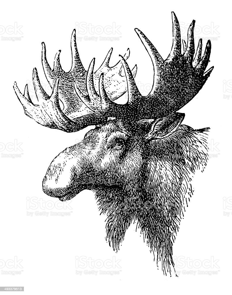 Antique illustration of Elk royalty-free stock vector art