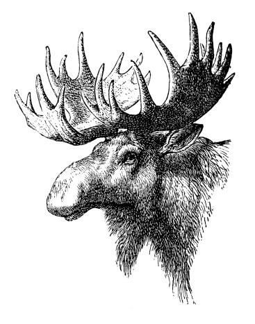 Antique illustration of Elk