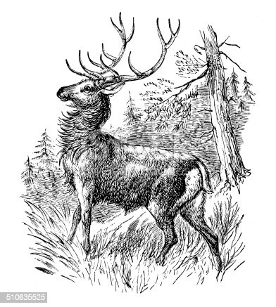 Antique illustration of elk or wapiti (Cervus canadensis)