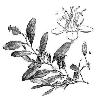 Antique illustration of Erythroxylum coca