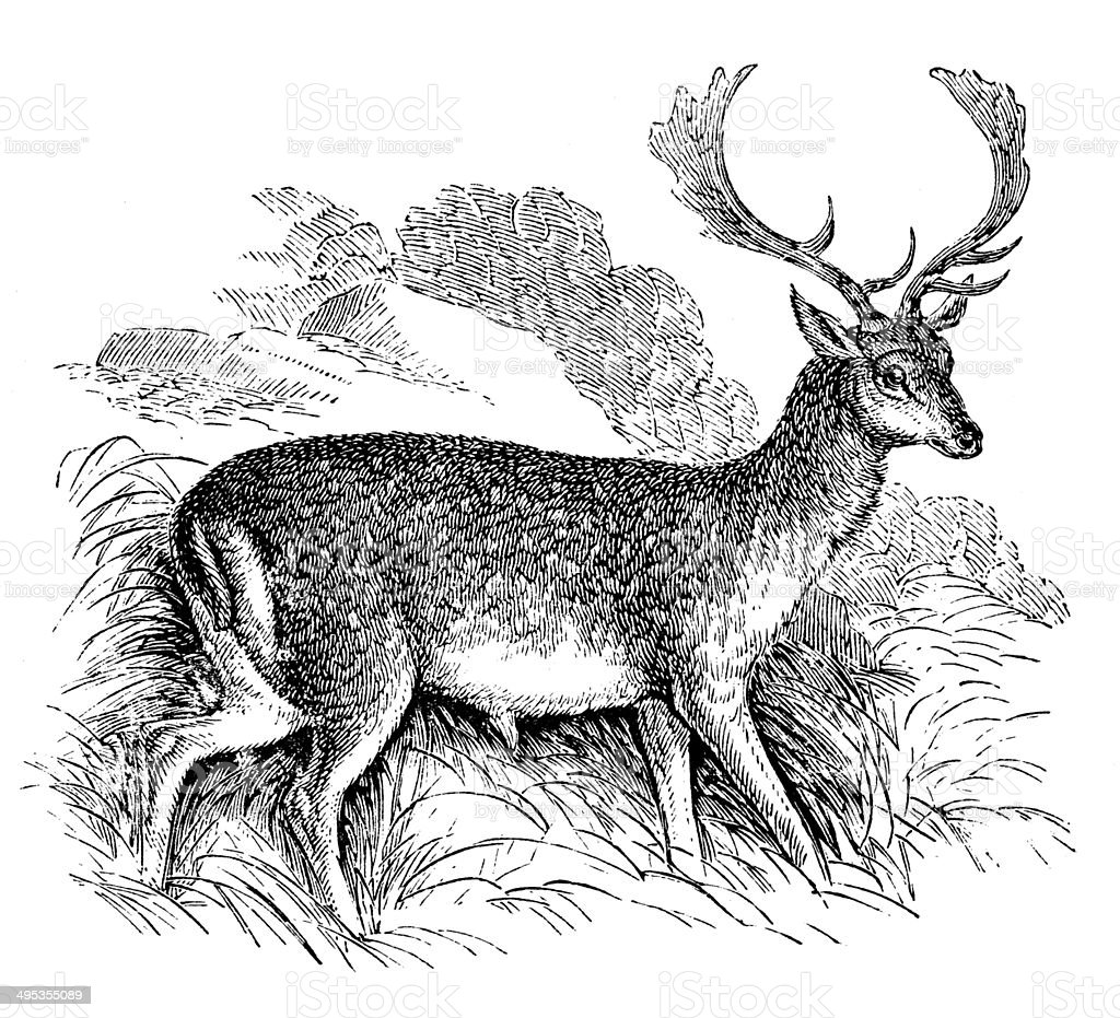 Antique Illustration Of Fallow Deer Stock Vector Art & More Images ...