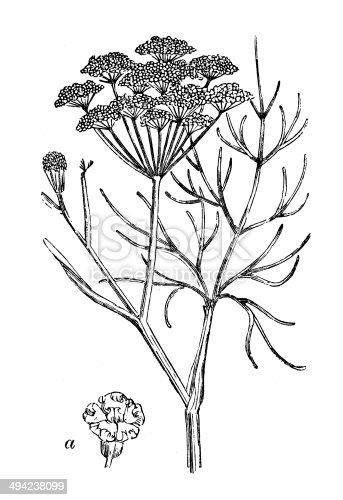 Antique illustration of Fennel (Foeniculum vulgare)
