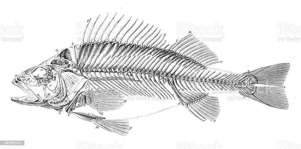 how to draw fish bones