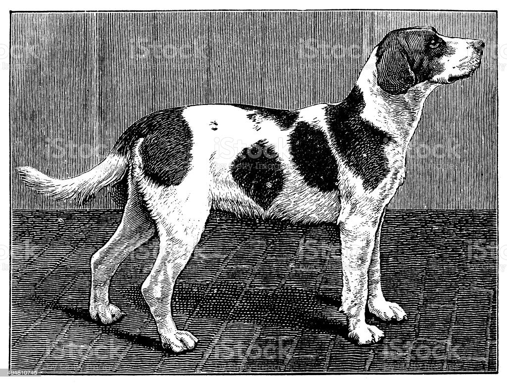 Antique illustration of foxhound dog royalty-free antique illustration of foxhound dog stock vector art & more images of 19th century style