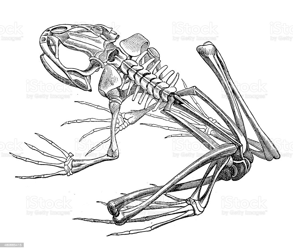 antique illustration of frog skeleton stock vector art 480665415