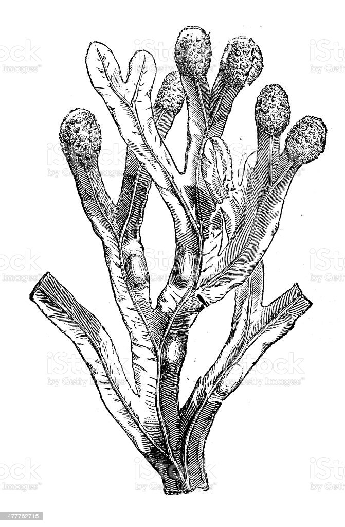 Anticuario ilustración de Fucus vesiculosus (vejiga wrack) - ilustración de arte vectorial