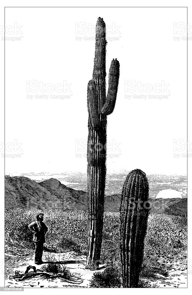 Antique illustration of Giant Cactus in Arizona vector art illustration