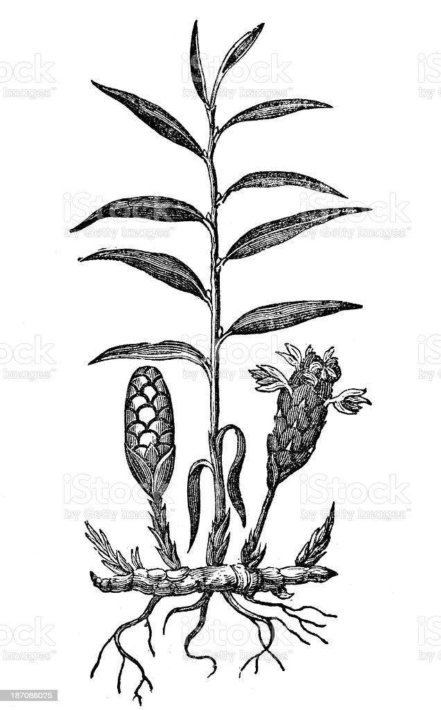Antique illustration of Ginger (Zingiber officinale, Amomum zingiber) vector art illustration