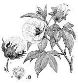 Antique illustration of Gossypium barbadense (extra long staple cotton)