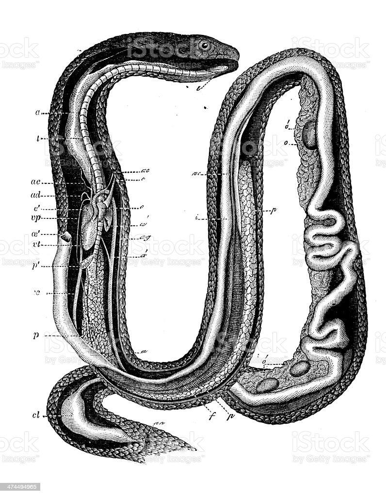 Anticuario Ilustración De Serpiente De Hierba - Arte vectorial de ...