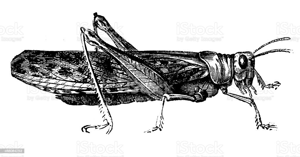Antique illustration of grasshopper vector art illustration