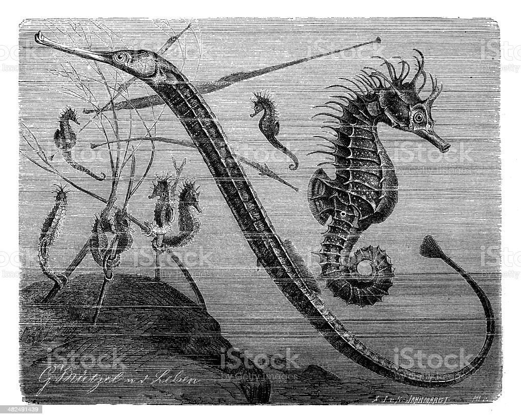 Antique illustration of Greater pipefish and short-snouted seahorse vector art illustration
