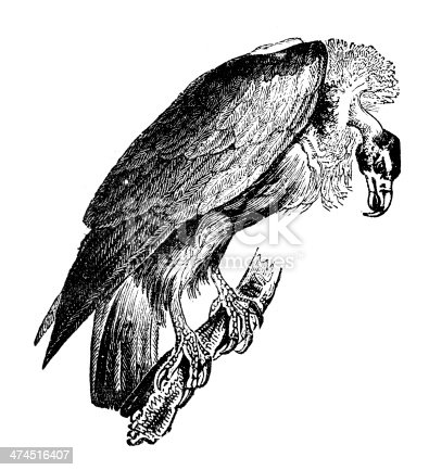 Antique illustration of Griffon Vulture (Gyps fulvus)
