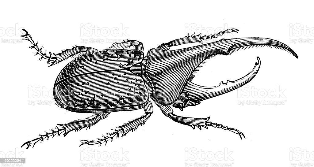 Ilustración de Anticuario Ilustración De Escarabajo Hércules y más ...