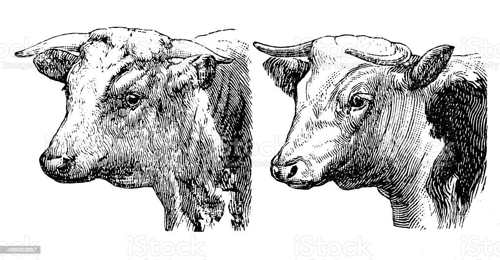 Antique illustration of Hereford bull and cow vector art illustration