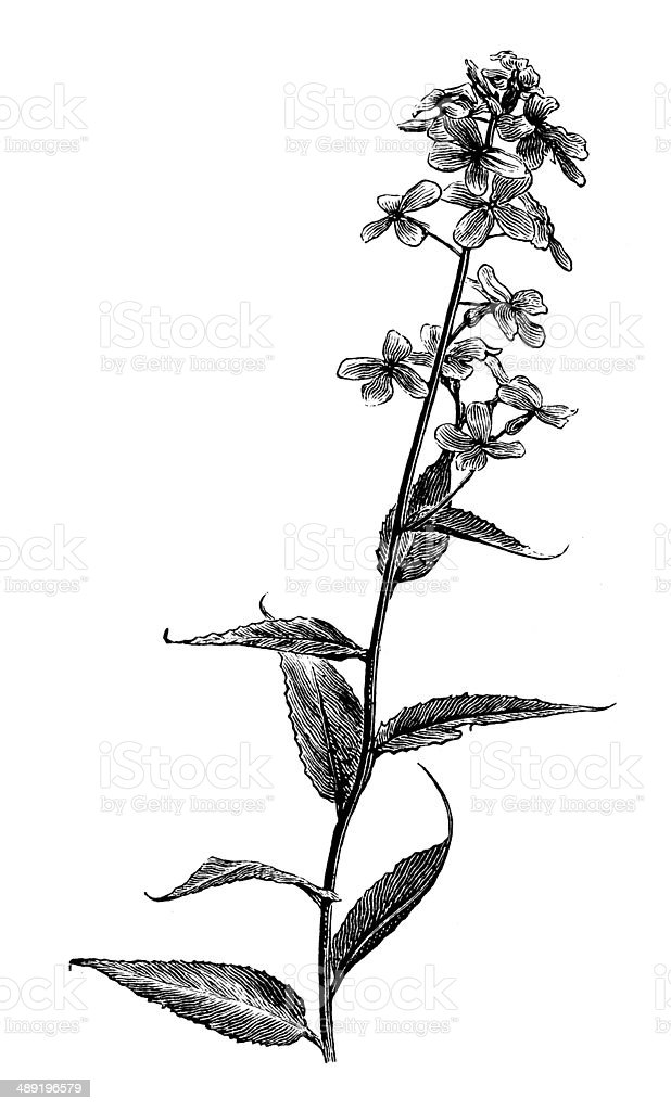 Antique illustration of Hesperis matronalis vector art illustration