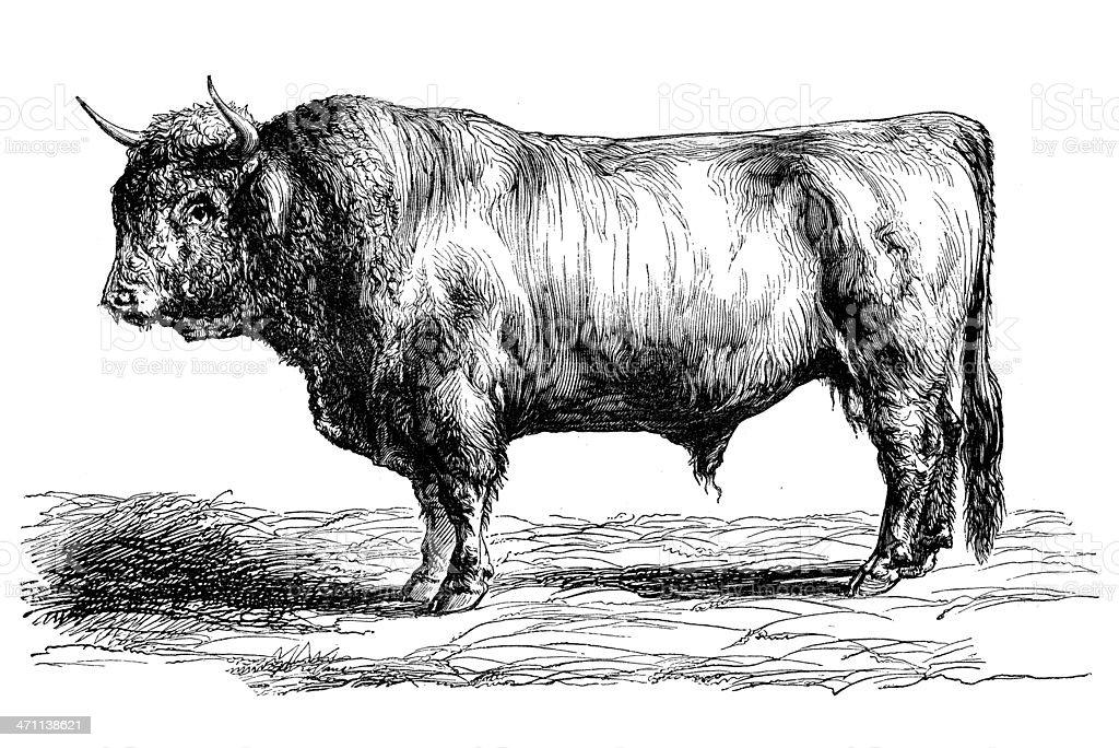 Antique illustration of highland cattle vector art illustration