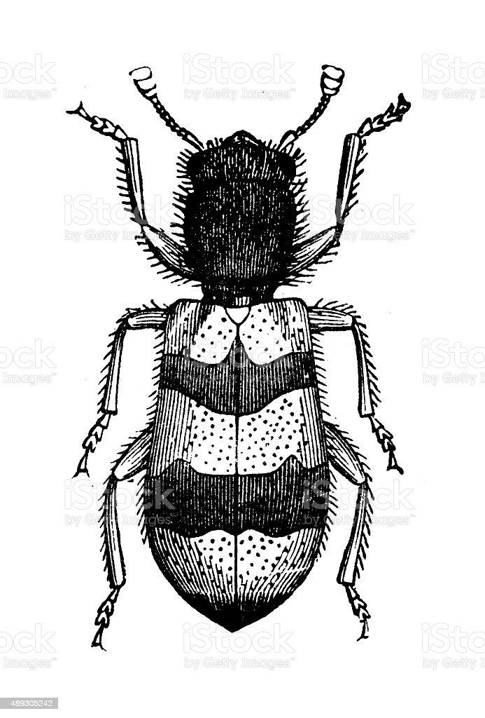 Antike Illustration Hive Kafer Trichodes Apiarius Oder Clerus