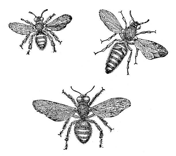 Antique illustration of honey bee (male, female, queen) Antique illustration of honey bee (male, female, queen) queen bee stock illustrations