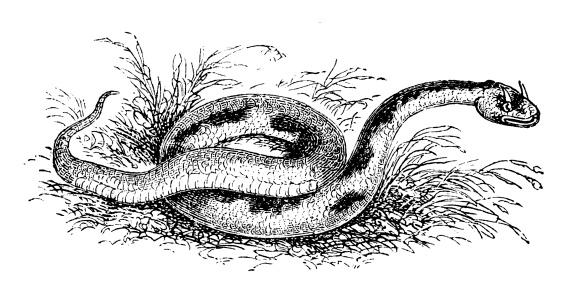 Antique illustration of Horned viper (cerastes)