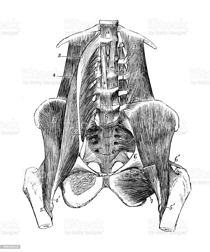 Antique Illustration Of Human Body Anatomy Abdomen And Pelvis