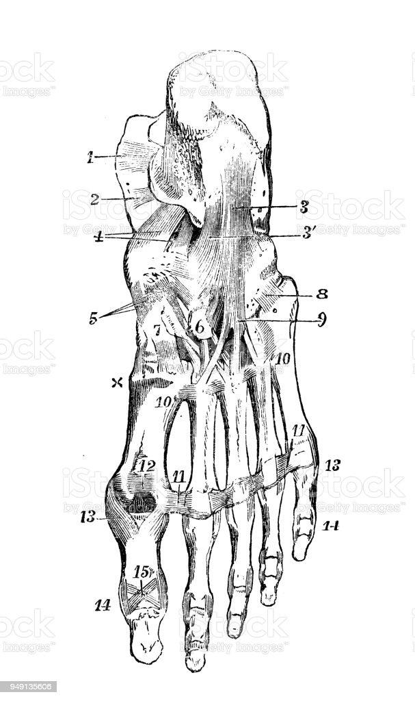 Contemporáneo Diagrama De Tobillo Humana Imagen - Anatomía de Las ...