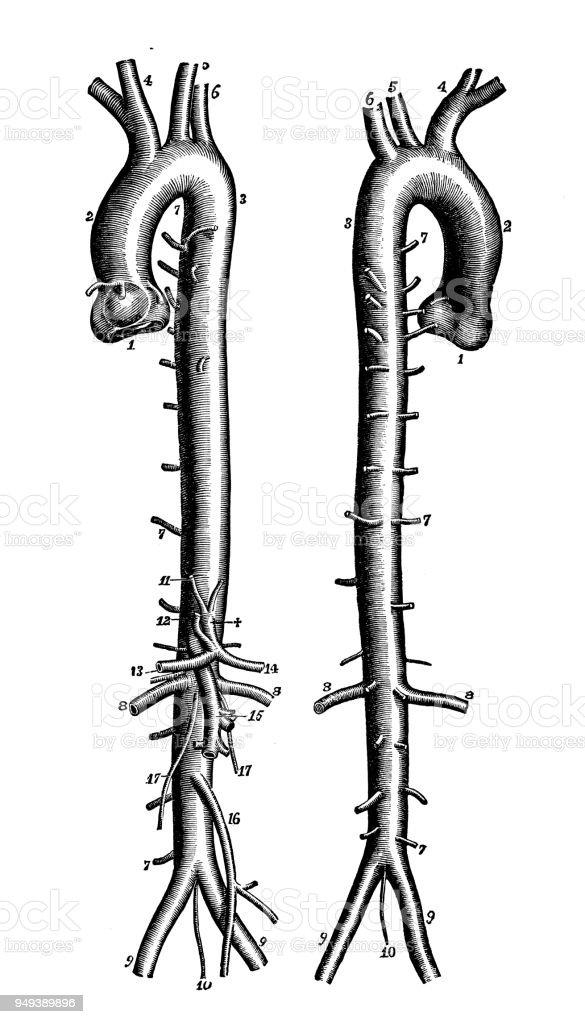 Antique illustration of human body anatomy: Aorta vector art illustration