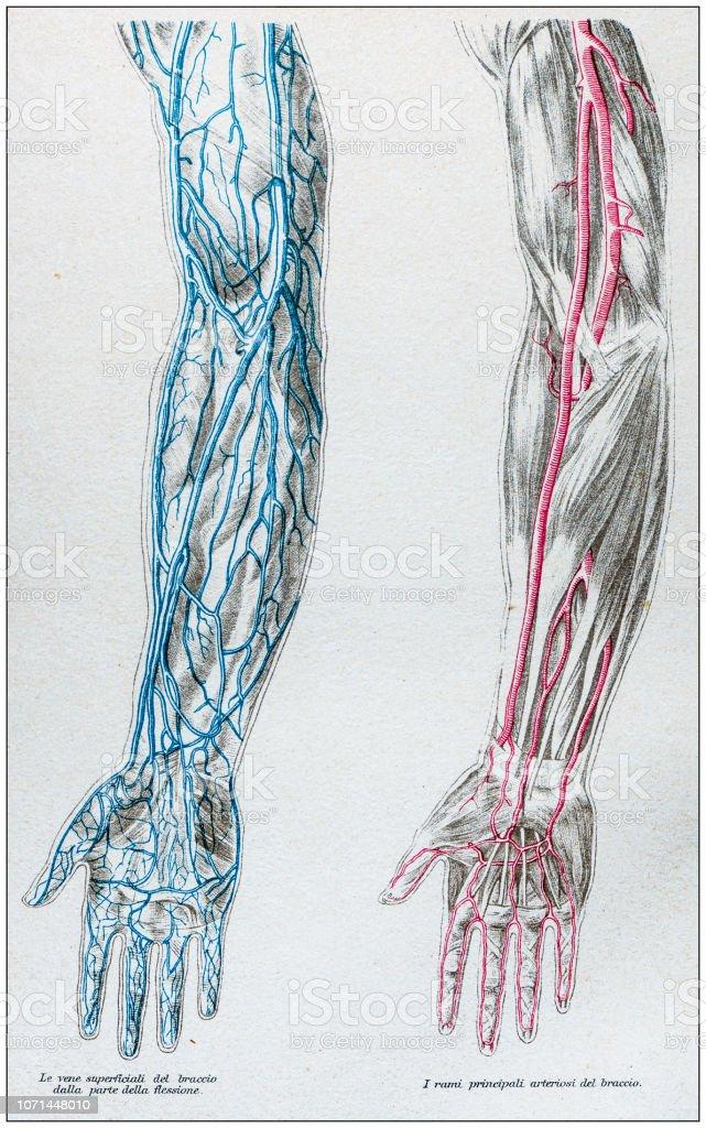 nombre de venas y arterias del brazo