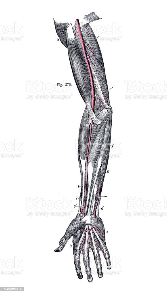 Free Human Body Diagram Arm Data Wiring Diagrams
