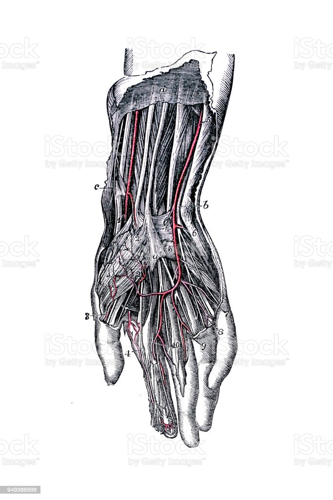 Ilustración de Antigua Ilustración Del Cuerpo Humano Anatomía ...