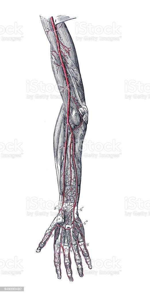 Lujoso Parte Superior Del Brazo Vena Anatomía Elaboración - Anatomía ...