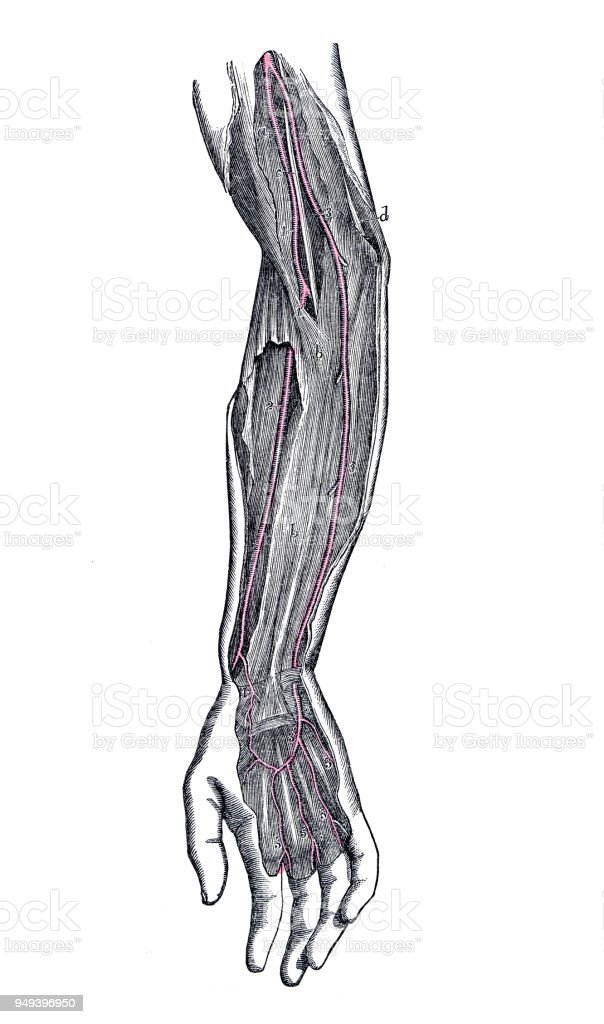 Antike Darstellung Der Anatomie Des Menschlichen Körpers Armarterien ...