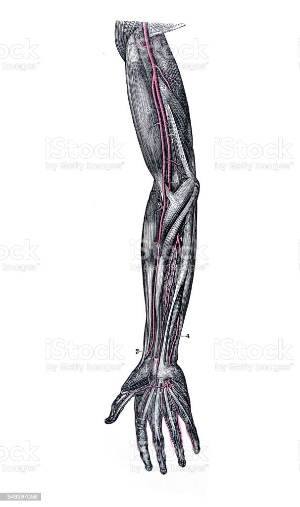 Antique Illustration Of Human Body Anatomy Arm Arteries Stock Vector ...