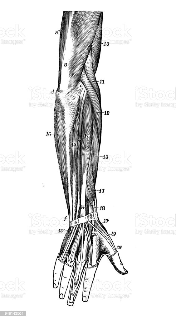 Antique Illustration Of Human Body Anatomy Arm Muscles Stock Vector