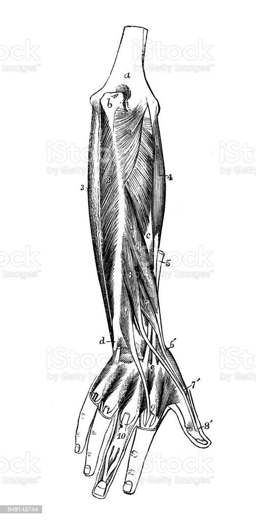Contemporáneo Diagrama Brazo Muscular Motivo - Anatomía de Las ...