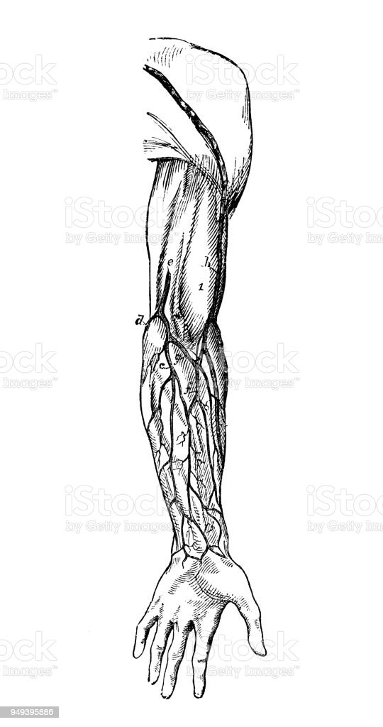 Antique Illustration Of Human Body Anatomy Arm Veins Stock Vector ...