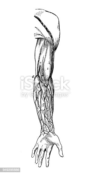 Antike Darstellung Der Anatomie Des Menschlichen Körpers Arm Venen ...