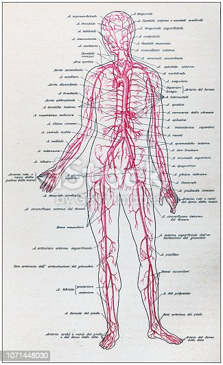 Antique illustration of human body anatomy: Arteries