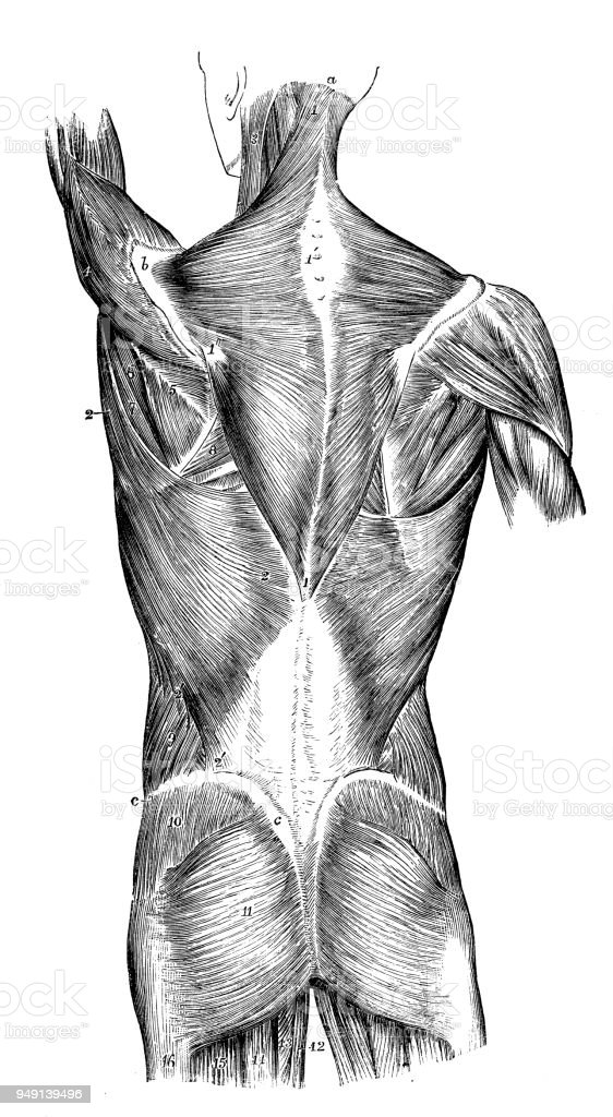 Antique Illustration Of Human Body Anatomy Back Muscles Stock Vector