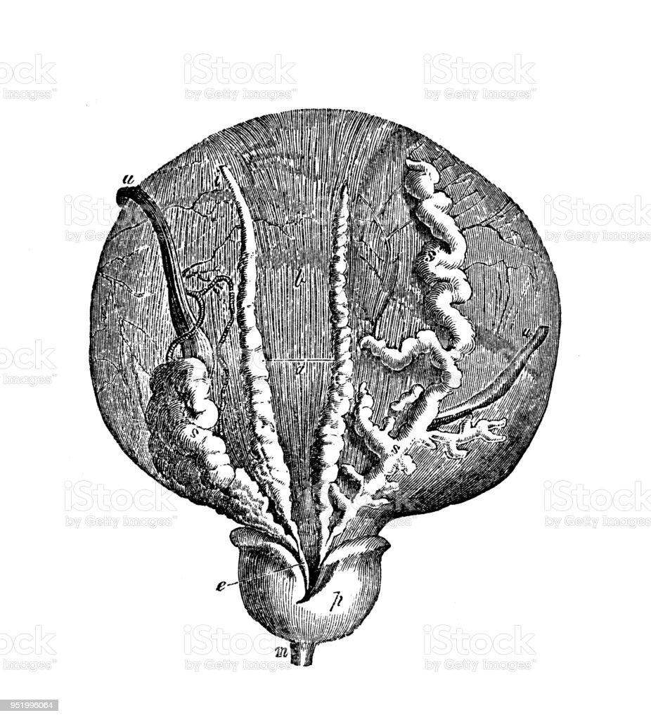 Antique Illustration Of Human Body Anatomy Bladder Prostate Stock ...