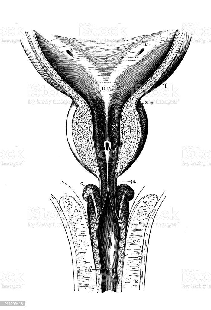 Antique Illustration Of Human Body Anatomy Bladder Urethra Stock ...