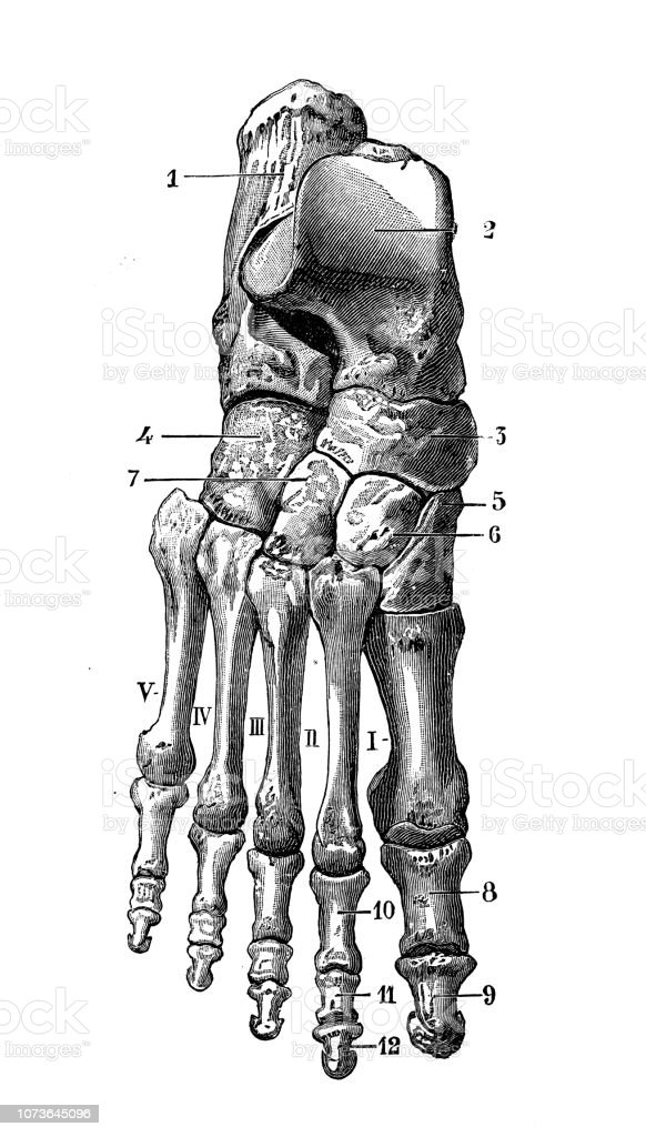 Antique Illustration Of Human Body Anatomy Bones Ankle And Foot