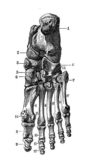 Antique illustration of human body anatomy bones: Ankle and foot bones