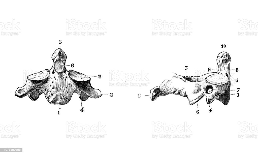 Antique Illustration Of Human Body Anatomy Bones Axis