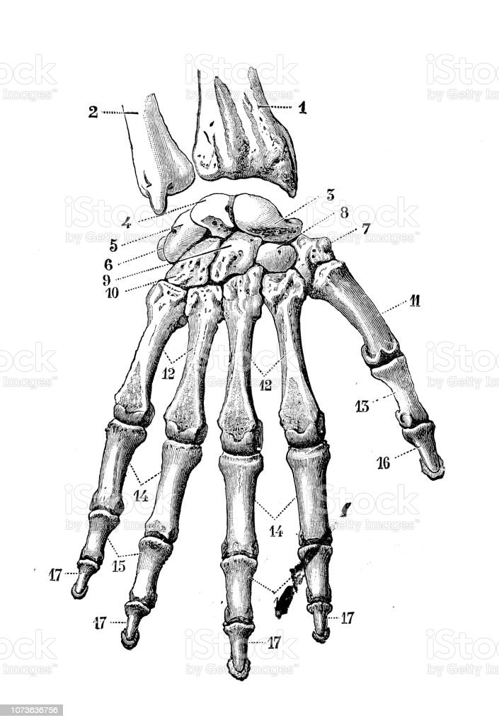 Antique Illustration Of Human Body Anatomy Bones Hand And Wrist