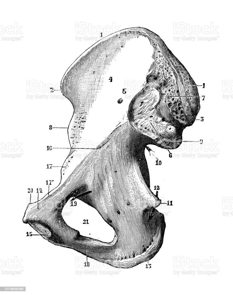 Antique Illustration Of Human Body Anatomy Bones Hip Bone Stock