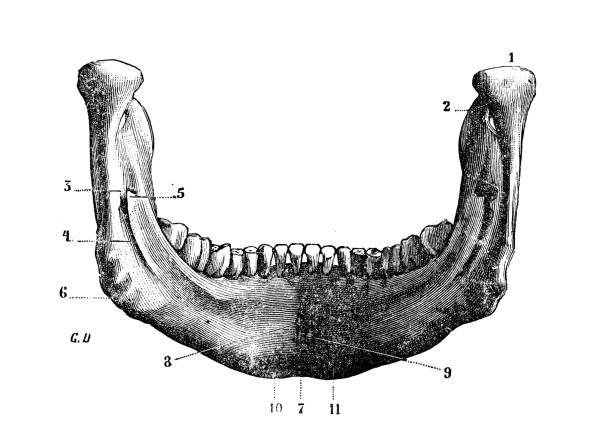 Antique illustration of human body anatomy bones, skull: Mandible, lower jaw or jawbone Antique illustration of human body anatomy bones, skull: Mandible, lower jaw or jawbone human jaw bone stock illustrations