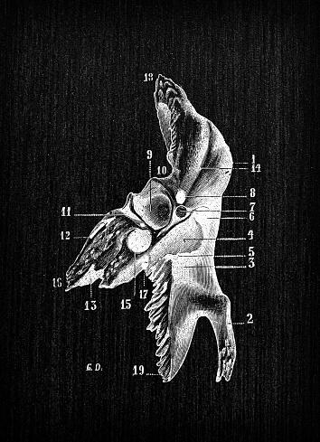 Antique illustration of human body anatomy bones, skull: Temporal bone