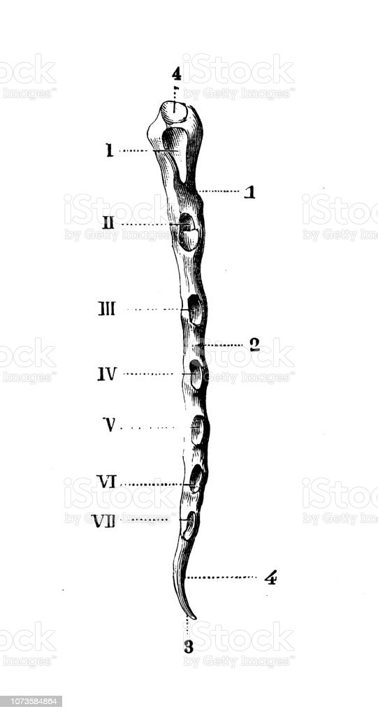 Antique Illustration Of Human Body Anatomy Bones Sternum Stock